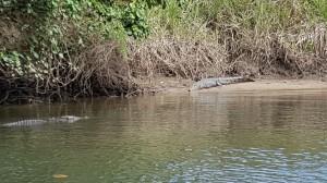 Crocodilo de auga salgada